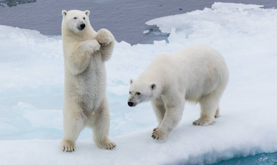 orso polare svalbard